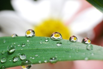Dew Drop Flower